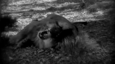 1932年版《人猿泰山》演员与两头真正的狮子搏斗!
