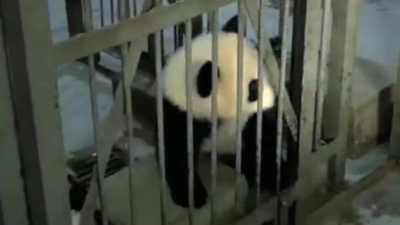 熊貓:當熊貓寶寶學會了開門,為什么會開門?是奶媽手把手教的