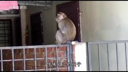 猴子绑架小猫当宠物,猫妈妈:快下来,猴:肚子饿了,抓些跳蚤来吃