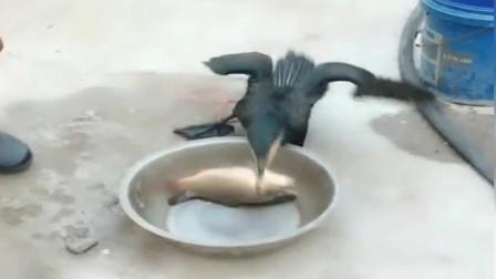 这只鱼鹰真贪吃,先挑大鱼吃,还没吞下去又开始吃第二条了