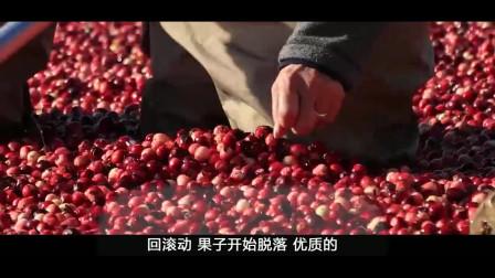 长在低矮灌木上的蔓越莓,收获的时候竟然用水收,一起来了解下!