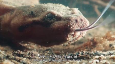 大蛇鼻子太可爱,就像猪鼻子!藏在海底不出头,却是捕鱼的!