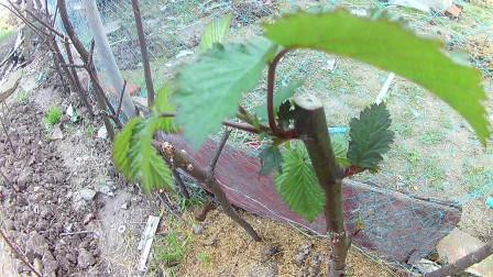 双季红树莓生长纪录