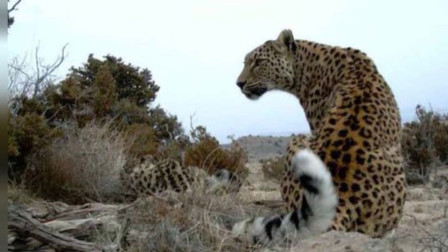 最大的花豹亚种,波斯豹