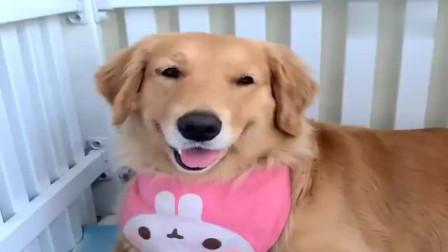 金毛稀罕哈士奇的狗宝宝,哈士奇护崽子把金毛给伤了,太有爱了