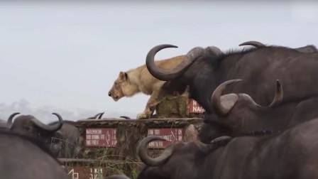 """""""狮失前蹄""""的狮子,被困在牛群中,靠吼叫以缓解尴尬?"""