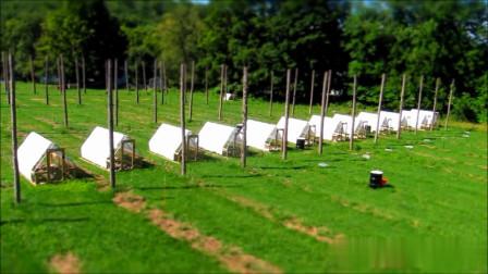 农场主创新养鸡模式,省人力省饲料还帮你果园除杂草