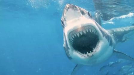 史前巨齿鲨生死谜,体长20米以鲸鱼为食