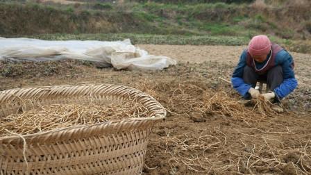 贵州这个男人为了照顾老小不出门打工 种折耳根10年月入万元