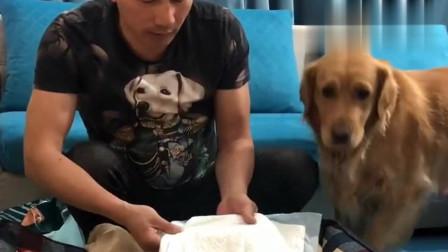 """金毛不干活,主人拿小狗来""""要挟""""它,下一秒让干啥就干啥"""