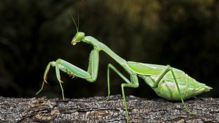 如何利用天敌昆虫?需注意什么?常见天敌昆虫种类