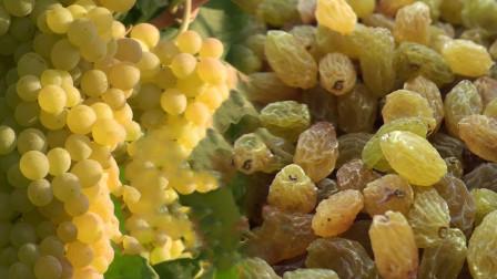 葡萄干的制作过程是怎样的?镜头记录全部过程,看完你还想吃吗?