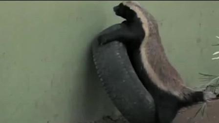 为什么动物园都不养蜜獾?平头哥这越狱智商堪比大猩猩了吧?
