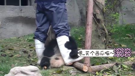 国宝大熊猫撒娇要吃西瓜,装萌耍赖饲养员老爸就是不理它!