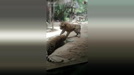 两只老虎的激烈打斗,地躺拳的运用