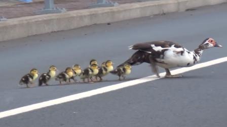 鸭妈妈带着一群小鸭子过马路,最后一只你真的不是来搞笑的吗?