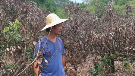 广西农村小伙埋头苦砍荔枝树,大片果树干枯一年没有收成损失惨重