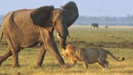 迷途小象遭狮群围攻 成年大象挺身相救