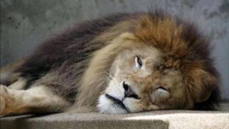 猫科动物的睡觉姿势出奇一致,你们是商量好的吗?