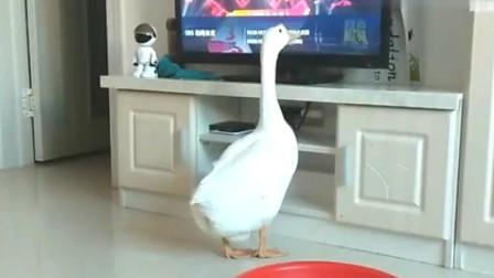东北大白鹅看电视,主人换个台,给吓坏了!