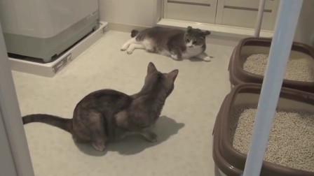 两只傻猫打架,像熊孩子一样,好端端的突然动手!