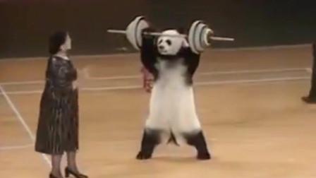 熊猫:史上才艺堪称全能的国宝大熊猫,身怀各种绝技,当之无愧的明星!