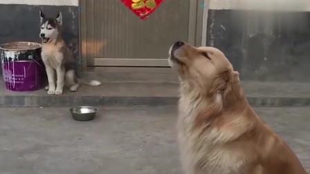 二哈:金毛哥,我们一起学狼叫吧!