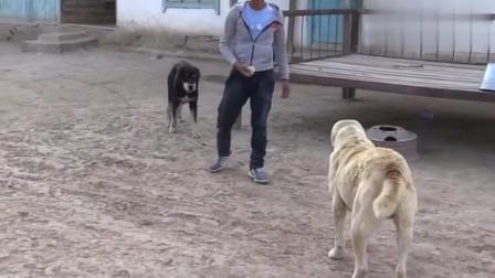 两只狗子一眼不合就干架,这脾气真是够暴躁!