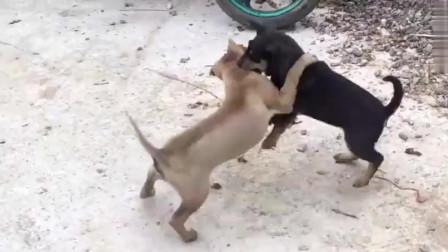 谁说土狗打架不厉害?看完你就马上知道了!