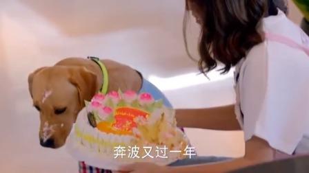 美女精心准备给男友过生日,不料狗狗把蛋糕吃掉一半,美女气坏了