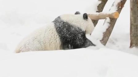 南方的滚滚出国见到雪,撒泼卖萌,老外都笑出了猪叫声!