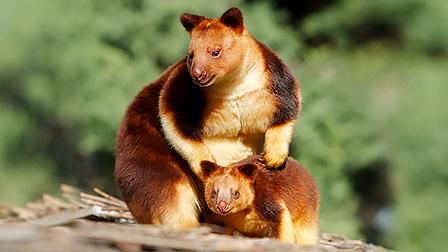 海岸二萌物新成員棲息在樹上的袋鼠爬樹比猴子還溜