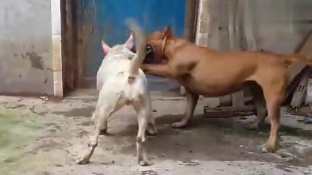 牛头梗对战斯塔福梗,看谁谁的实力更强!