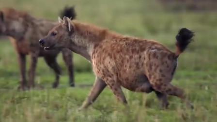 斑鬣狗竟然想捕食落单的狮子,随后却被赶来的狮子吓跑