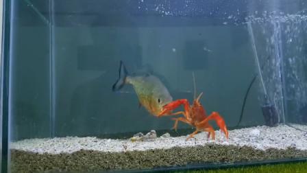 食人鱼VS小龙虾,究竟谁才是水中霸主,结果出乎意料!