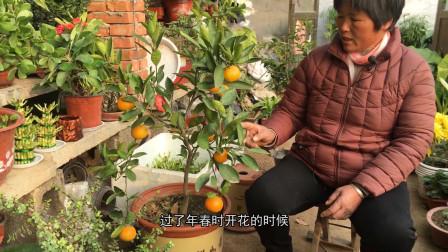 盆栽桔子树怎么养?盆栽桔子树的养殖方法和注意事项!