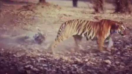 【老虎】明星雌虎玛雅教训马卡苏的儿子