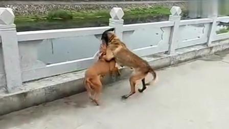 凶猛的比特犬战斗马犬,你们猜最终谁会胜出呢?