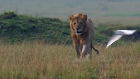 十几条鬣狗围攻母狮子,生死关头雄狮来营救,结果鬣狗悲剧了