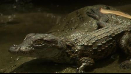 能够生存在沼泽的恐怖鳄鱼,因为鳄鱼皮的珍贵而成为了濒危物种!