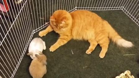 大橘跑进了两只兔子的窝,小白兔主动示好,结果小灰兔吃醋了!