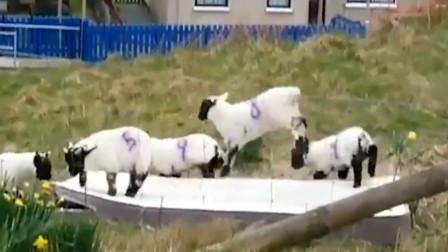 小羊肖恩是你吗?苏格兰黑面小羊玩蹦床 蹦蹦跳跳超可爱