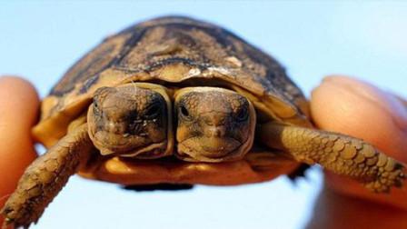 美国海滩发现罕见双头海龟,存活几率很小,或基因突变所致