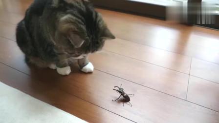 喵星人与锹形虫的第一次亲密接触