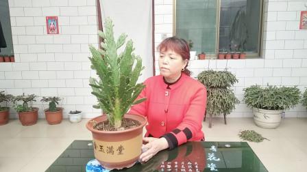 多肉植物怎么养?3点关键要记牢,叶片爆盆枝条翠绿