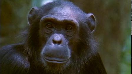 大猩猩不但有力气,也有智慧,平时吃素的类人猿有时也吃肉