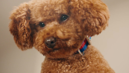 智能家居时代,一只泰迪跟金毛做了不可思议的事情?