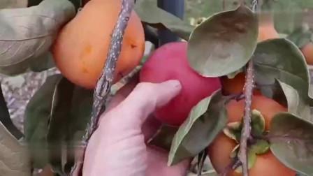 为何果树不长果实时,在树上砍几刀就会结很多果?到底是什么原理?