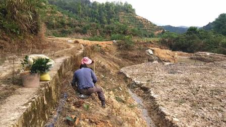 老农在野外种植水仙茶这种茶树叶子大农村已经好少人种了