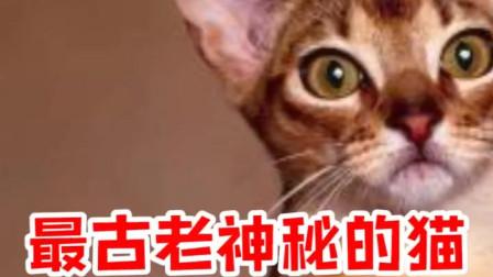 最古老神秘的猫:阿比西尼亚猫,太可爱了吧